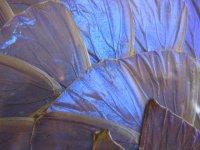 ブルーモルフォ◇青い蝶◇蝶画◇標本◇羽細工◇額入り